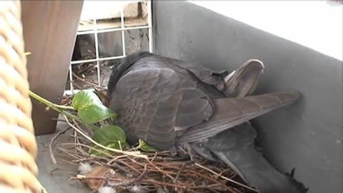 鳩の卵が孵化